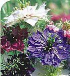 5 sementes da linda flor nigela sortida (dedo de dama)