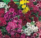 5 sementes da linda flor phlox drummond sortido