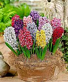 Bulbo de jacinto hyacinth - flor exotica - planta ornamental