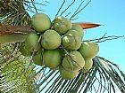 Coco verde  in natura