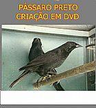 Passaro preto criacao em dvd