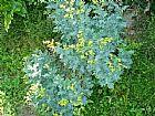 Ervas da jurema - oleos essenciais