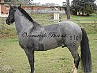 Cavalo crioulo mouro