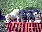 Basset hound filhotes agradaveis e carinhosos