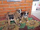 Boxer filhotes graciosos e brincalhoes
