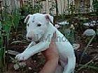 Bull terrier afetuoso e brincalhao