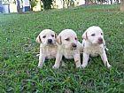Labrador amarelo filhotes fieis e inteligentes
