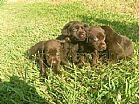Labrador chocolate filhotes fabulosos