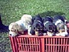 Basset hound filhotes