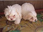 Lhasa apso filhotes