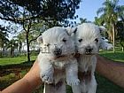 West terrier filhotes