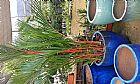 Muda de palmeira laca vermelha 2 mt - (62)85701915 Goias