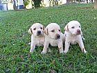 Labrador maravilhosos filhotes de natal
