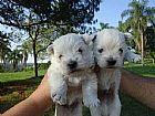 West terrier filhotes  para presentear