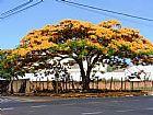 Flamboyant Mudas pequenas e ADULTAS  em Goias (62)85701915