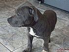 American staffordshire terrier filhotes curiitiba 692763