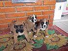 Boxer venda de filhotes