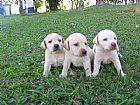 Labrador venda de caes