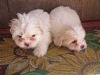 Filhores de lhasa apso belissimos filhotes em sp