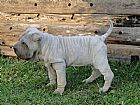 Sharpei filhote cao cachorro ibiuna