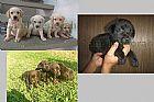 Labrador retriver carinhosos e fieis