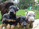 Doberman,  nascidos em 10/04/2015- filhotes fortes e saud�veis