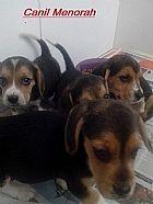 Beagle lindos filhotes bem animados