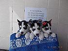 Filhotes de husky siberiano a venda