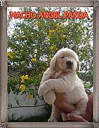 Golden retriever linhagem de campeoes pedigree raca melhor cao filhote