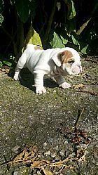 Filhotes de bulldog ingles