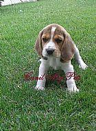 Filhotes de beagle 13 polegadas em campinas