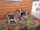 Boxer lindos filhotes inteligentes