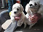 Filhotes de poodle mini toy