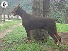 Dobermann,  canil de dobermann,  filhote de dobermann