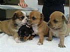 Amorosa chihuahua cachorros para adocao