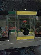 Kit peixe betta,  aquario e racao