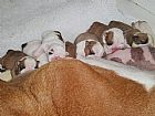 Bulldog ingles filhotes para adocao