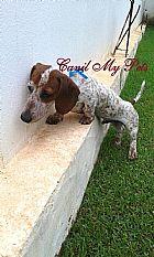 Filhote dachshund miniatura arlequim em campinas