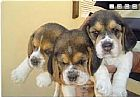 Beagle,  filhote,  cachoro,  canil,  criador,  caes são paulo 708959