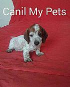 Filhote dachshund miniatura  em campinas