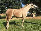 Égua lusitano registrada prenha confirmada de garanhao renomado