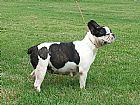 Bulldog frances - anchieta-es