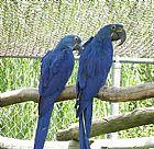 Dna testado par de arara-azul
