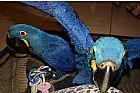 Papagaios de arara-azul