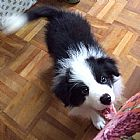 Border collie fofo