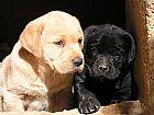 Labrador presente dia das maes