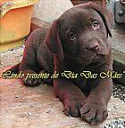 Labrador chocolate presente dia das maes