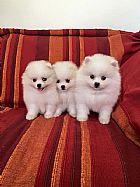 Filhotes de spitz alemao branco