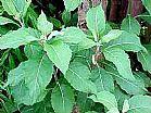 Boldo do chile ervas londrina fone 43 3325 5103
