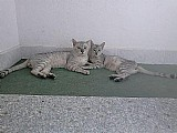 Gato oriental osirus e a silver beauty com pedigree da raca mau egipcio